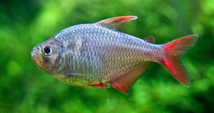 Bystrzyk kolumbijski - ryba akwariowa fot. flickr by SurfGuard