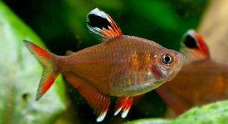 Bystrzyk Ozdobny - ryba akwariowa fot.forums.overclockers.com.au