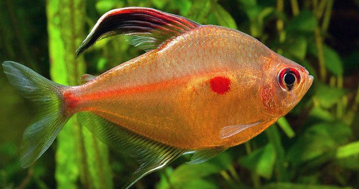 Bystrzyk pereza - ryba akwariowa fot. flicr by Peter Maguire