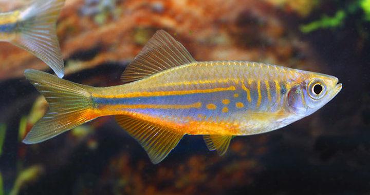 Danio malabarski - Devario malabaricus fot.my-fish.org