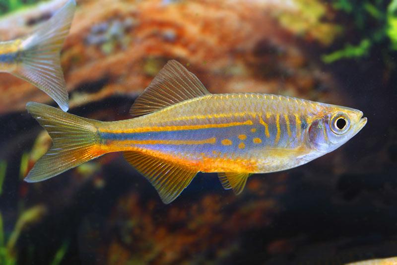 Danio malabarski - ryba akwariowa