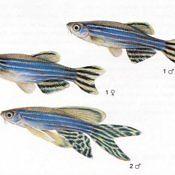 Danio Lamparci - Pręgowany - ryba akwariowa, płeć