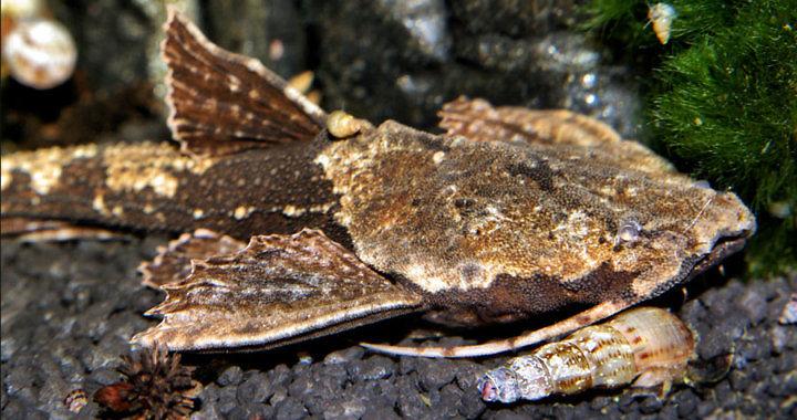 Drewniak dwubarwny (Bunocephalus coracoideus) fot. http://nordlandfahreraquarium.de.tl