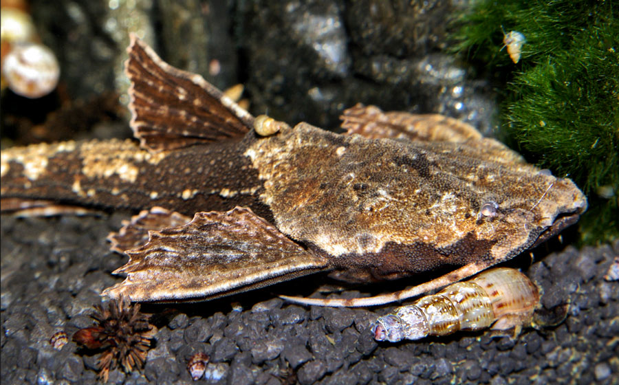Drewniak dwubarwny - Bunocephalus coracoideus