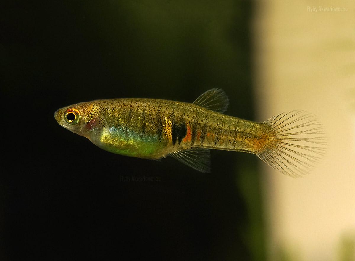 drobnotka-nadobna-neoheterandria-elegans-ryba-akwariowa