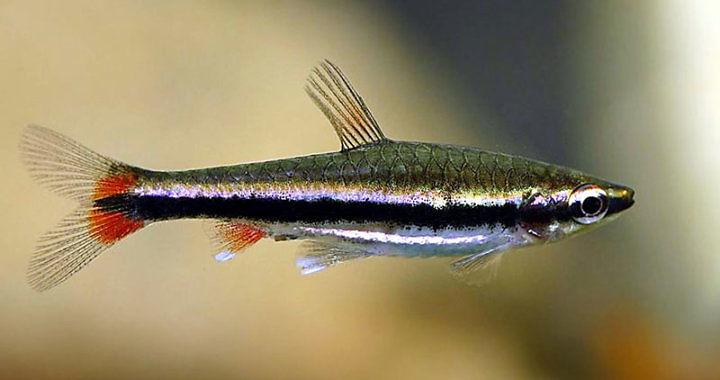 Drobnoustek Beckforda (Nannostomus beckfordi) fot. sfish.com.tw