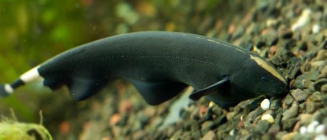 Duch Amaznoński - Brazylijski - Duchy - ryby
