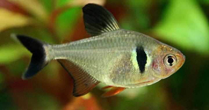 Fantom czarny - ryba akwariowa fot. flickr by Fotograaf John