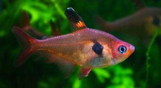 Fantom czerwony – Barwieniec czerwony