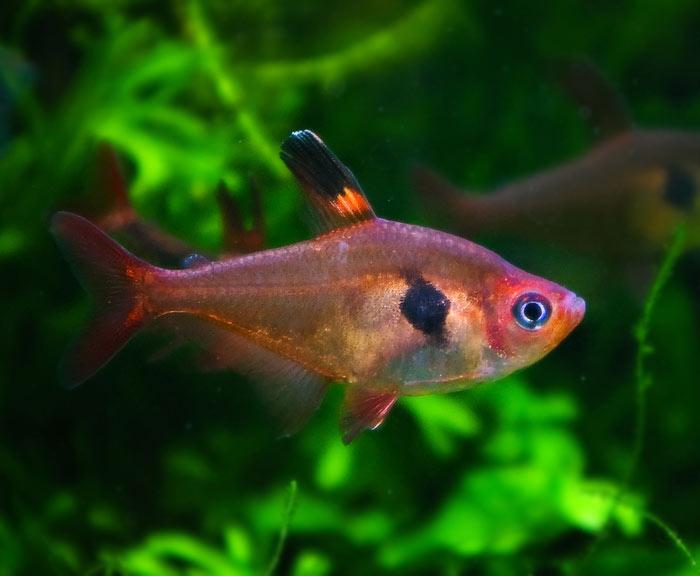 Fantom czerwony - Barwieniec czerwony
