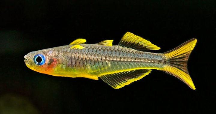 Pseudomugil furcatus - ryba akwariowa fot.aquarienfotografie.net