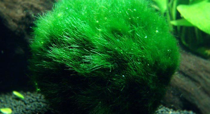 Gałęzatka Kulista - roślina akwariowa fot.mossaquapedia.blogspot.com