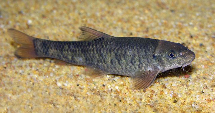 Garra rufa - ryba akwariowa fot. wikiwand.com