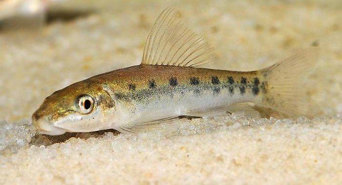 Glonojad syjamski - ryba akwariowa fot.nautilusmarinewholesale.com