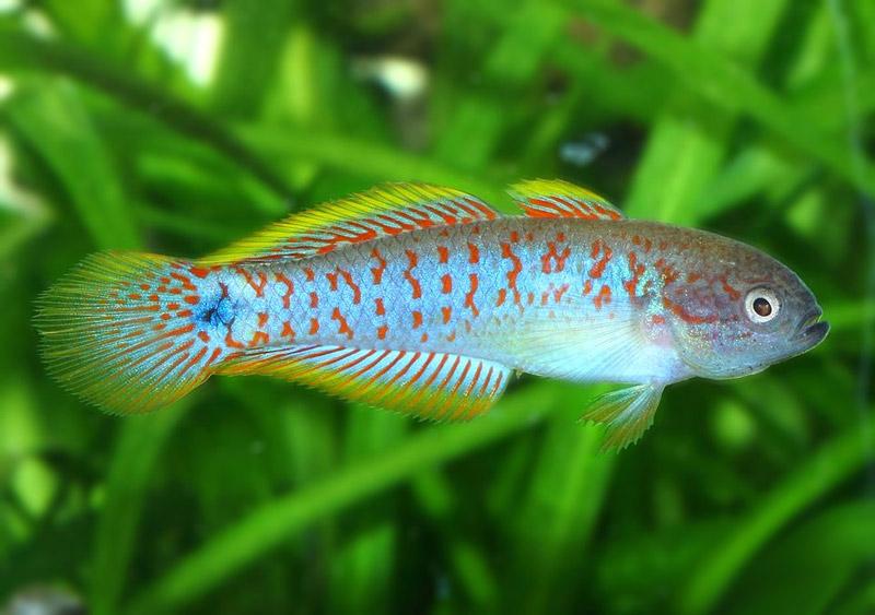 Głowaczyk Barwny - Głowaczyki Barwne - ryby