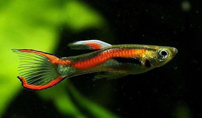 Gupik Endlera - ryba akwariowa fot.aqua-passion.com