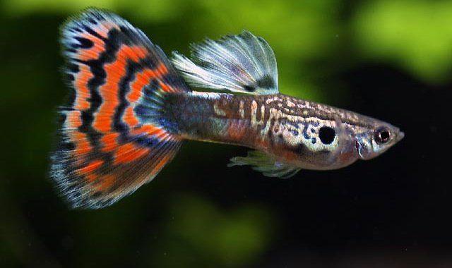 Gupik Pawie Oczko - ryba akwariowa fot.nettaigyo-zukan.com