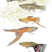 Gupik Pawie Oczko - ryba akwariowa