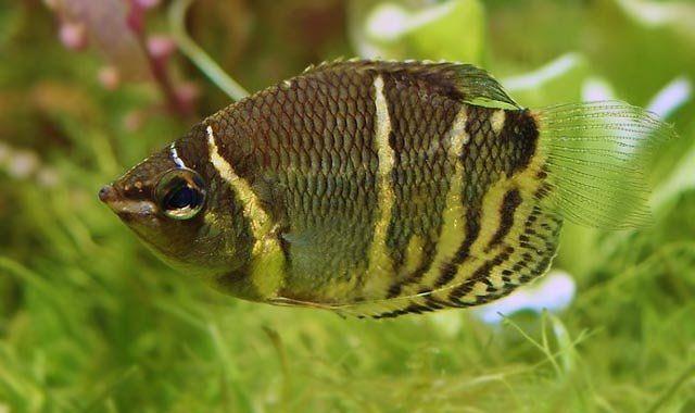 Gurami Czekoladowe - ryba akawriowa fot.nesihonsu.deviantart.com