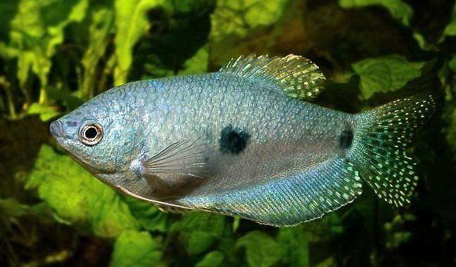 Gurami Dwuplamisty - Dwuplamy - ryba akwariowa fot.fishforums.net