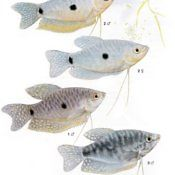 Gurami Dwuplamisty - ryba akwariowa, samiec samica