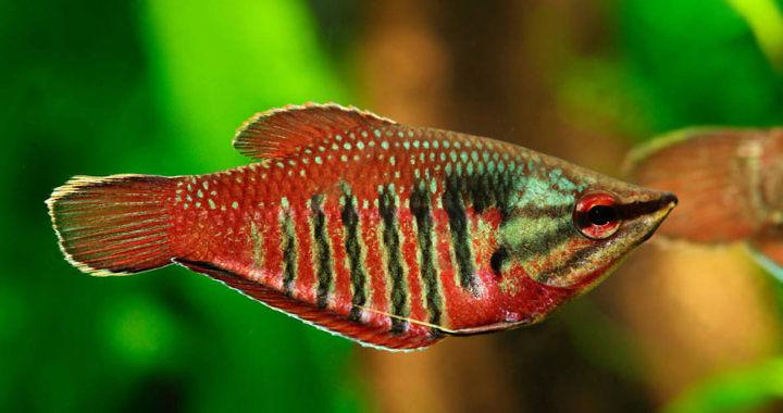 Gurami samuraj - ryba akwariowa fot. alamy.com