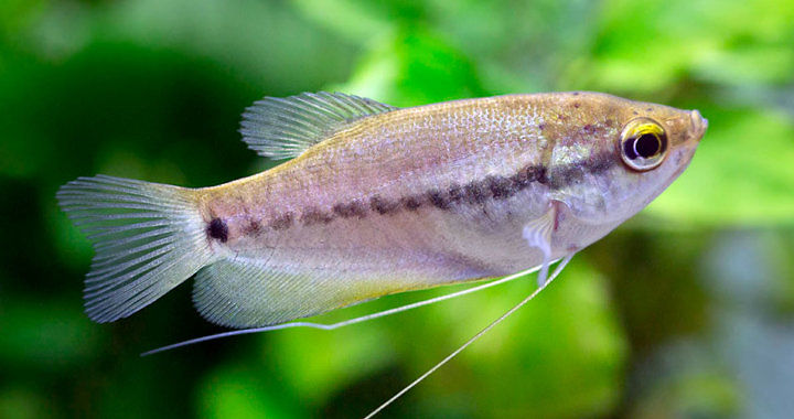Gurami syjamski - ryba akwariowa fot. beke.co.nz