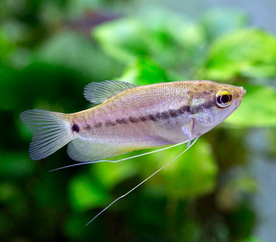 Gurami syjamski - Trichopodus pectoralis