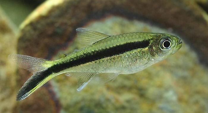 Hokejówka amazońska - ryba akwariowa