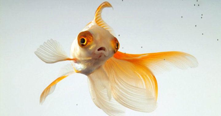 Humanitarne zabicie - uśmiercenie ryby akwariowej fot. hakaimagazine.com