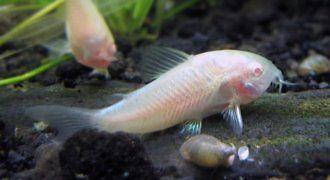 Kirysek albinos