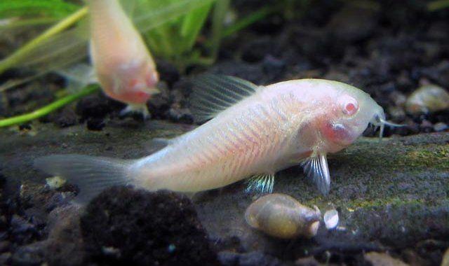 Kirysek Albinos - ryba akwariowa fot.allthesecreatures.blogspot.com