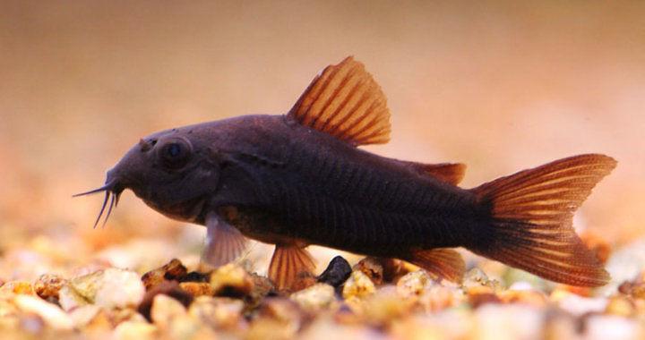 Kirysek czarny - ryba akwariowa fot. flickr by Ricardo Kobe
