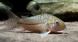 Kirysek Julii - Corydoras Julii fot. seriouslyfish by Enrico Richter