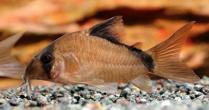 Corydoras matae - ryba akwariowa fot. hopesun1205.blogspot.com