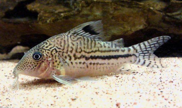 Kirysek Lamparci - ryba akwariowa fot.aquaticrepublic.com
