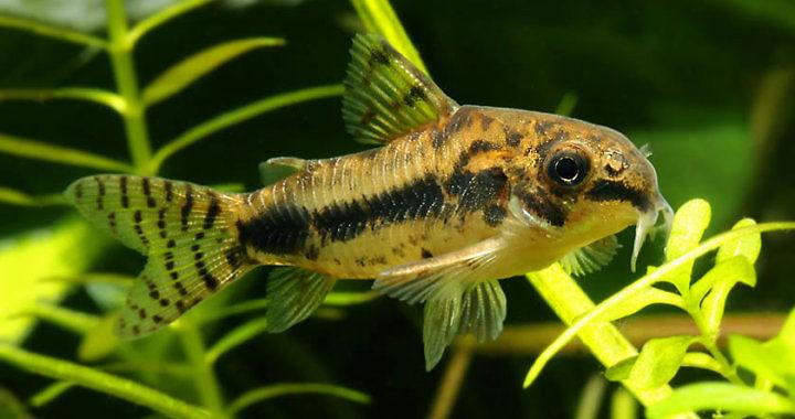 Kirysek malutki - ryba akwariowa fot. seriouslyfish.com by Peter McGuire