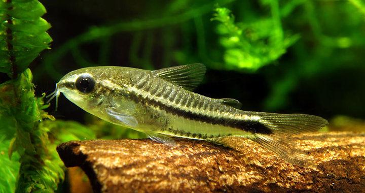 Kirysek Pigmej - ryba akwariowa fot. rybyakwariowe.eu