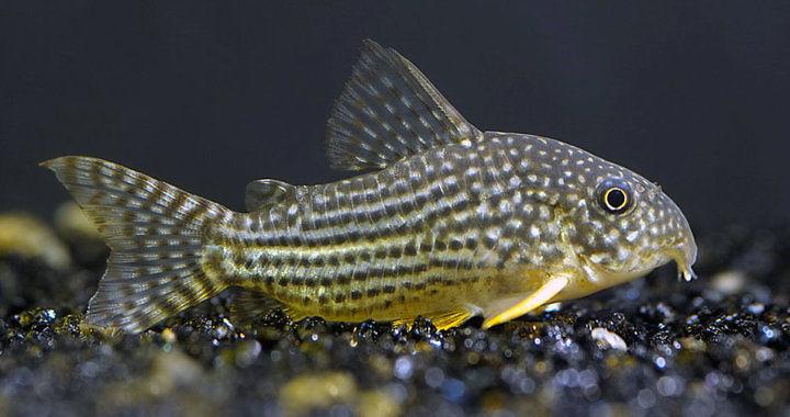 Corydoras Sterbai - ryba akwariowa fot. wikipedia.org