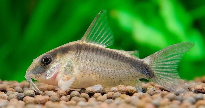 Kirysek strumieniowy - ryba akwariowa fot. hopesun1205.blogspot.com