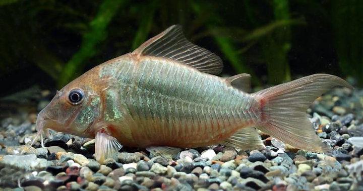 Kirysek szmaragdowy - ryba akwariowa fot. aqua-passion.com