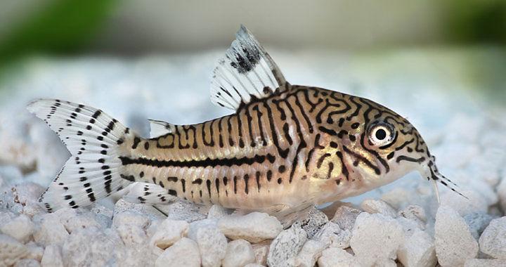 Corydoras trilineatus - ryba akwariowa fot. shutterstock