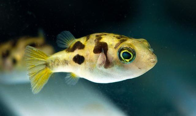 Kolcobrzuch Karłowaty - ryba akwariowa fot.frogforum.net