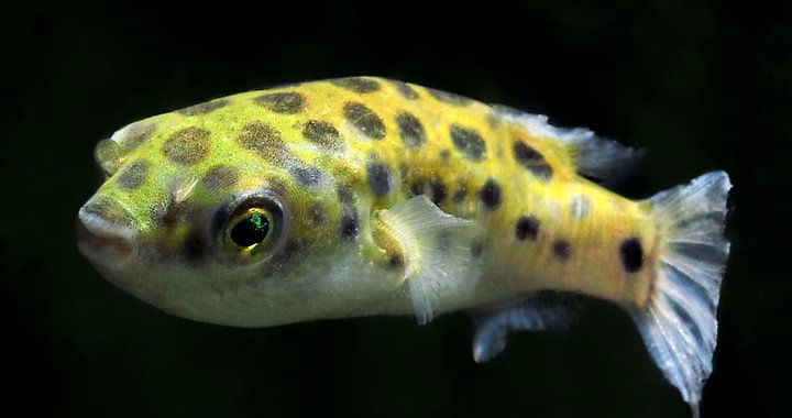 Kolcobrzuch zielony - ryba akwariowa fot. petsolutions.com