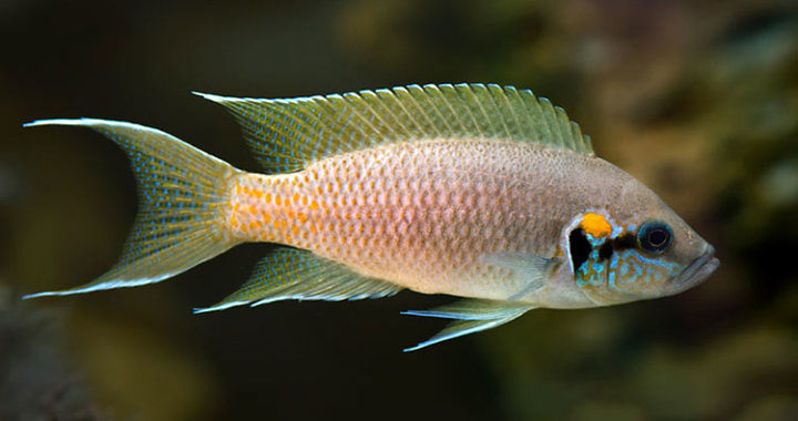 Księżniczka z Burundi - ryba akwariowa fot. kiev.fotki.yandex.ru