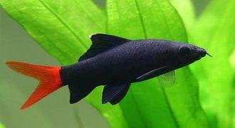 Grubowarg dwubarwny – Labeo