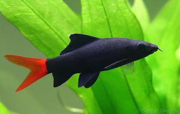 Labeo bicolor - ryba akwariowa