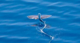 Latające ryby - Ptaszorowate fot. flickr by Harold Moses