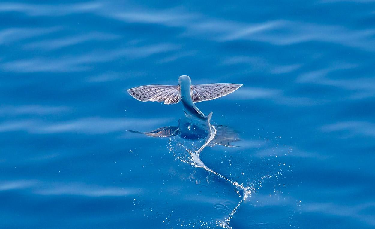 Exocoetidae - latające ryby