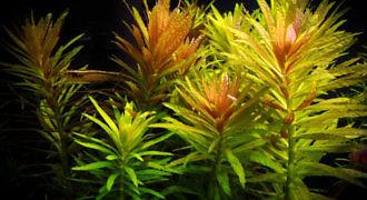Limnofila pachnąca - roślina akwariowa fot. aquascaping.ro